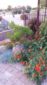 <h5>Marsha's nasturtiums</h5>